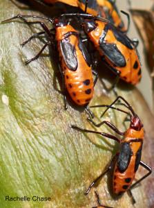 Milkweed bugs taken with Sony SEL50M28 FE macro lens