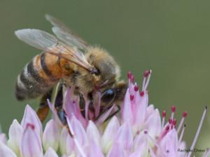 Honey bee taken with Sony SEL50M28 FE macro lens